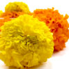 Tagetes amarillos y naranjas