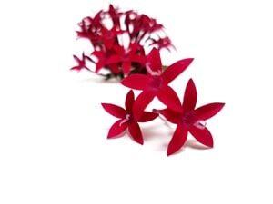 Flor de penta