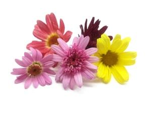 Crisantemos mini
