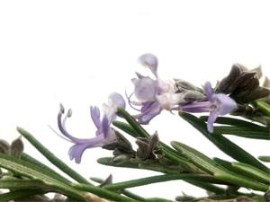 Flor de romero-min